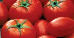 فصلوں کو خشک سالی اور جراثیم سے بچانے والا ' ٹماٹر پرفیوم ' تیار