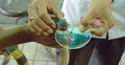 پاکستانی ماہرین نے سانپ کاٹے کی سستی ویکسین تیار کر لی