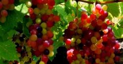 نیا پھل دیکھتے وقت کی دعا