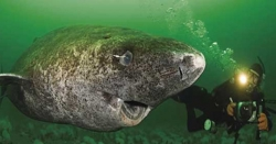 گرین لینڈ میں 512 سال سے زندہ شارک مچھلی دریافت کرلی گئی