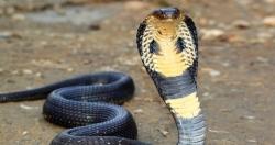سانپ نے آدمی کو کاٹا اور پھر آدمی نے اپنی بیوی  کو کاٹ لیا، لیکن زندہ کون بچا؟ ناقابل یقین واقعہ