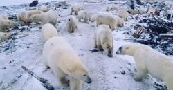 روس میں بھوکے برفانی ریچھوں نے انسانی بستی پر حملہ کر دیا