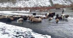 چلاس ،سرکاری کالونی میں آزادانہ گھومنے والے درجنوں مویشی بند