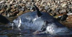 اٹلی میں مردہ حاملہ وہیل کے معدے سے 22 کلو پلاسٹک کی تھیلیاں برآمد