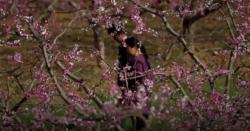 چین:شانگسی میں چیری اور آڑو کے پھولوں سے فضا معطر