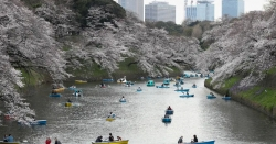 ٹوکیو : چیری کے پھو لوں کی بہا ر ،درخت پھولوں سے سج گئے