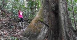 ملائیشیا : دنیا کا طویل القامت درخت دریافت