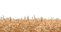 گوجرانوالہ: گندم خریداری، باردانہ کی تقسیم کیلئے درخواستوں کی وصولی شروع