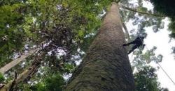 ملائیشیا میں دنیا کا طویل ترین درخت دریافت