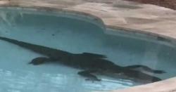 فلوریڈا ، گھر کے سوئمنگ پول میں مگر مچھ آگیا