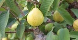 امرود کے پتوں کو 20منٹ تک پانی میں پکائیں اور پھر وہ پانی استعمال کریں۔۔کمال خود دیکھیں