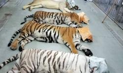 اہم ترین ملک کا پاکستان کو 18 نایاب شیر اور چیتوں کا تحفہ ۔۔۔لیکن ان کو رکھا کہا ں جا ئیگا ۔۔۔؟ جانئے