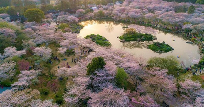 چین کے شہر ووہان میں چیری کے پھو لوں کی بہار