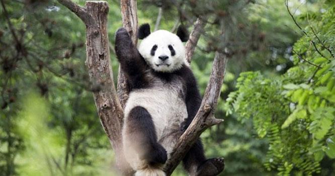 چین میں پانڈے کا درخت پر چڑھنے کا انوکھا انداز