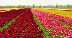 نیدرلینڈ میں ہر سو پھیلے گُل لالہ کے پھولوں سے فضا معطر