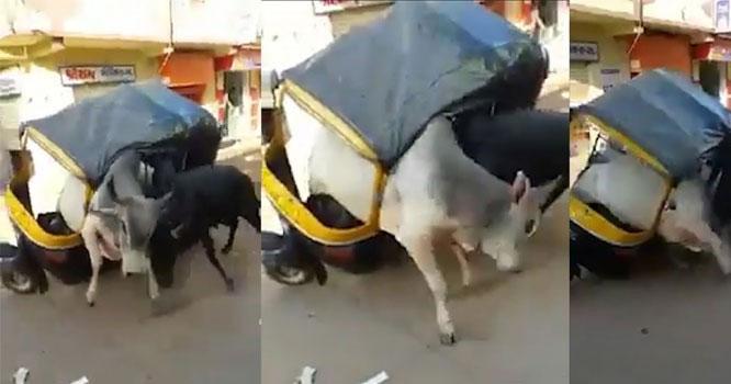 بھارت میں سڑک کے بیچ دو بیل لڑ پڑے