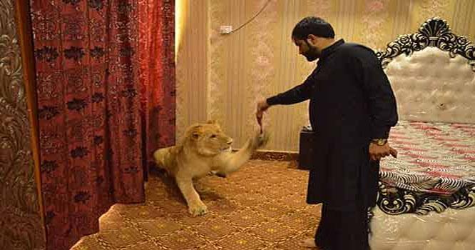 ملتان: شیر کو بیڈ روم، اے سی سمیت متعدد سہولتیں فراہم کرنے والا شہری