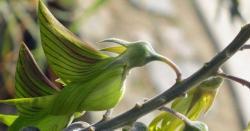پرندے جیسی شکل کے پھول دینے والا انوکھا پودا
