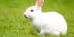 خرگوش کے گوشت میں وٹامن ،پروٹین اور غذائیت بکرے سے بھی زیادہ ہیں ،رپورٹ میں اہم انکشاف