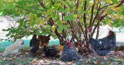 جنگلی مرغیوں کی برطانوی جزیرے پر ''حکومت'' قائم