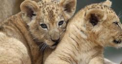 چڑیا گھر میں دو نایاب شیروں کی پیدائش