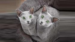 ان روسی نیلی بلیوں کی آنکھیں سب سے زیادہ مسحور کن ہیں