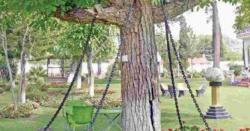 یہ درخت گزشتہ 118سال سے پاکستان میں گرفتار ہے،