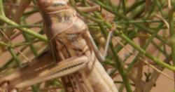 26سال بعد ہونیوالے ٹڈیوں کے خوفناک حملے نےراجھستان میں کہرام مچادیا
