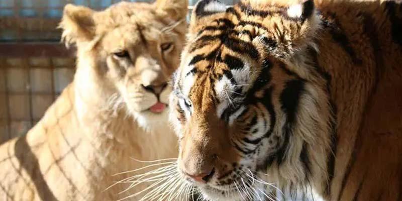 عدی صدام کا شیر اور چیتا آج کہاں اور کس حال میں ہیں؟