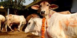 بھارت میں گائے کی مردم شماری کی تجویزاورکانوں پر نمبرٹیگ لگانے کا مطالبہ