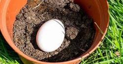 ایک گملے میں مٹی ڈال کے اس میں انڈا دبا دیں اور پھر جادو دیکھیں