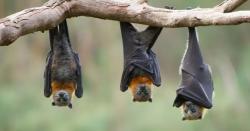 چمگادڑوں کی دو نسلوں میں کورونا وائرس کی تصدیق