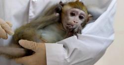 بندروں کے 2گروپ بنا کر ان پر ریمڈیزیویئرنامی اینٹی وائرل ویکسین کاتجربہ کیاگیا تو کیا نتائج نکلے؟