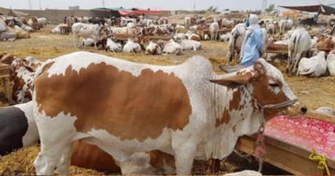 جو جو پاکستانی قربانی کیلئے مویشی خریدنا چاہتے ہیں وہ یہ خبر پڑھ لیں ، حکومت نے بڑی شرط عائد کر دی