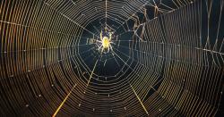 مادہ مکڑی بچے دینے کے بعد نر مکڑی کو کیوں مار دیتی ہے ؟