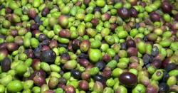 زیتون کی کاشت،پاکستانیوں کے لیے پیسے کمانے کابہترین موقع پاکستان کے کاشتکار اسے 'خاموش سبز انقلاب' کیوں قرار دیتے ہیں؟