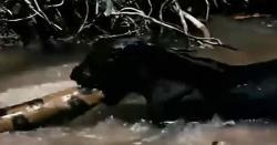 بلی کی بھاری بھرم اژدہے کوکھانےکی کوشش