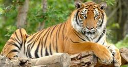 بریک لگی ہوئی 1.8ٹن وزنی گا ڑی کئی بندوں سمیت بنگالی شیر کہاں گھسیٹ کر لے گیا
