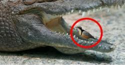 وہ کونسا پرندہ ہے جو مگر مچھ کے دانتوں سے اپنا رزق نکال کر کھاتا ہے اور مگر مچھ کو ۔۔۔۔ جانیں دلچسپ حقائق