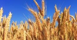 پنجاب میں گندم کی زبردست پیداوارپرفواد چوہدری خوشی سے نہال ،کسانوںکومبارکباددے ڈا لی