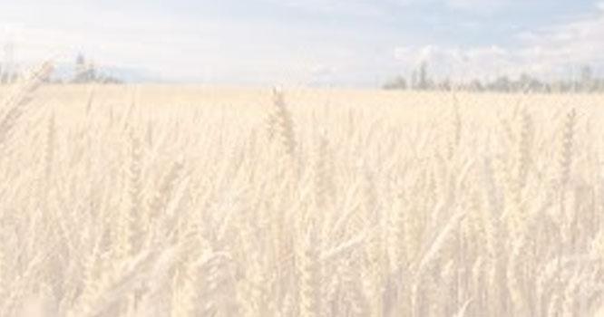 وفاقی کابینہ نے 10لاکھ ٹن گندم درآمد کرنےکی منظوری دے دی