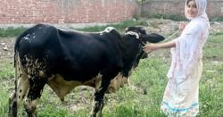 رابی پیرزادہ نے بکرے کی بجائے بیل کیوں خریدا؟ وجہ بتادی