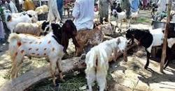 عید الاضحیٰ کیا آمد آمد ۔۔۔ سندھ حکومت نے بڑی پابندی عائد کر دی۔ ۔نوٹیفیکیشن جاری