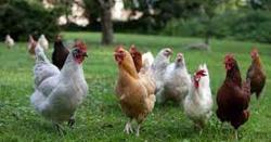 15 اگست سے مرغیاں دینے کا آغاز کر رہے ہیں،مبشر اعوان